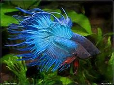 siamese fighting fish pictures - Yahoo Search Results Yahoo Image Search Results