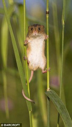 Harvest mouse.