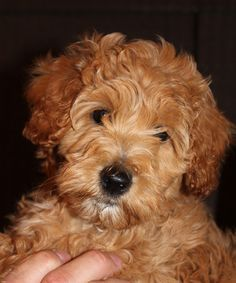 Golden doodle.  I want one so bad!