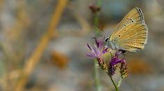 https://flic.kr/p/pj4yfa   Polyommatus hopfferi   The Hoppfer's Blue