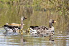 Greylag geese with goslings | par jpskoubo2016