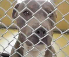 Killed for space-PLEDGES AND RESCUE URGENTLY NEEDED! HE'S BEEN THERE A MONTH!!! WATCH HIS VIDEO; https://www.youtube.com/watch?v=PDRyExJuT1s A4807984 My name is Jasper and I'm an approximately 2 year old male pit bull. I am not yet neutered. I have been at the Downey Animal Care Center https://www.facebook.com/photo.php?fbid=851574661589534&set=pb.100002110236304.-2207520000.1429042109.&type=3&theater