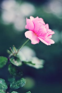 rose - XIV by AlexEdg