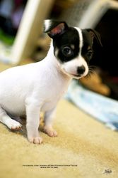 PEPE is an adoptable Chihuahua Dog in Irving, TX. To Apply to Adopt Pepe here: http://www.afftx.org/Adoption-Info-Application.html Pepe is one of 4 puppies born into our rescue. His mom is, Jeri, and...