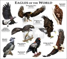Eagles of the World.....ROGER D HALL.....a scientific illustrator specializing in wildlife and architectural subjects....predominantly self-taught....works with pen and ink....artwork has appeared in numerous media (newspaper, books, website, etc)....a Minnesota native now based in Oakland, California....associated with several zoos and aquariums in the US