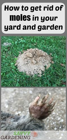 to Get Rid of Moles in Your Yard and Garden How to get rid of moles in the yard and garden.How to get rid of moles in the yard and garden. Slugs In Garden, Garden Bugs, Garden Insects, Garden Pests, Lawn And Garden, Garden Fertilizers, Moles In Yard, Skin Moles, Japanese Beetles