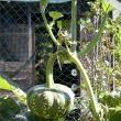 Growing Vertical Vegetables