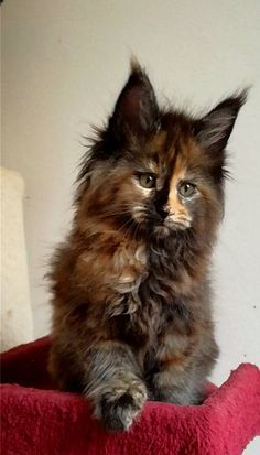 Maine Coon - a really nice looking Tortie Girl, - she will be a gorgeous, colorful, adult, with Cattitude, to spare.