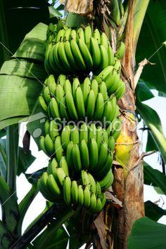 Cuban banana tree with green fruits