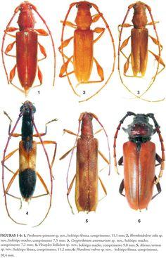 Novos táxons de Cerambycinae (Coleoptera, Cerambycidae) da América do Sul