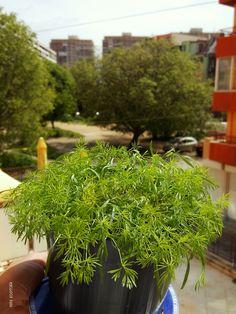 Копър (Anethum graveolens)