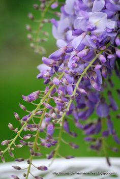 Mon Jardin Mes Merveilles: Médicis et glycine