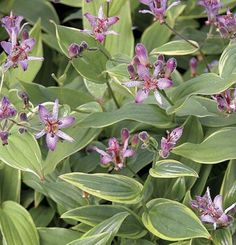 They are reminiscent of orchids.Toad lilyblooms in early autumn along arching stems to 2 or 3feet tall. Plants grow to 2 feet wide. They make subtle, but exotic specimens for woodland borders and shady house plantings