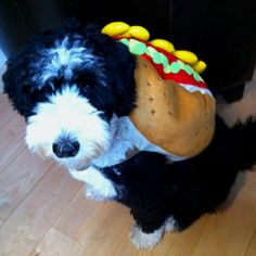 Penny the Portuguese Water Dog in her Halloween costume