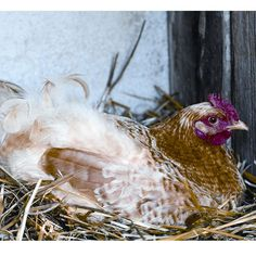 How do you know when to butcher an aging, laying hen? This article from MOTHER EARTH NEWS explains it all.