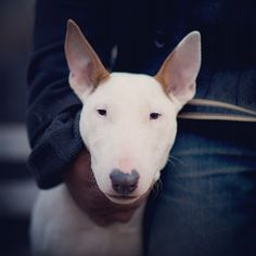 Isis, Bull Terrier, Tompkins Square Park
