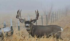 Open country buck