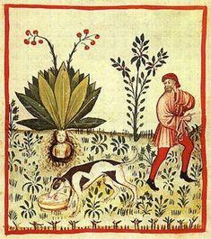La Mandragore, herbe magique entre toutes ! zimzimcarillon.canalblog.com