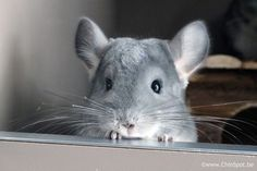 Lilo the chinchilla - I can hardly believe my eyes ... these creatures are so insanely cute!