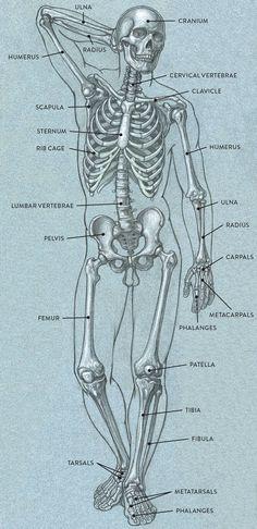 Bones and Surface Landmarks - Classic Human Anatomy in Motion: The Artist's Guid. - Bones and Surface Landmarks – Classic Human Anatomy in Motion: The Artist's Guid… Bones and - Human Skeleton Anatomy, Human Anatomy For Artists, Human Anatomy Drawing, Human Body Anatomy, Anatomy Of The Body, Skeleton Face, Fish Skeleton, Skeleton Makeup, Human Anatomy And Physiology
