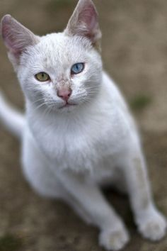 Cats With Different Colored Eyes - 26