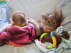 MONKEY World staff have welcomed their latest arrival to the ape rescue centre – a baby orphan Sumatran orang-utan called Rieke. Cute Baby Animals, Animals And Pets, Funny Animals, Wild Animals, Monkey World, Monkey See Monkey Do, Gato Animal, Baby Orangutan, Tier Fotos