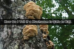 How Do I Tell If a Mushroom Is Safe to Eat? Read HERE --- > http://www.livinggreenandfrugally.com/how-do-i-tell-if-a-mushroom-is-safe-to-eat/