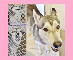 3/30. He is just a year old and so stunning and sweet. Please take a look at this beauty and SHARE, a FOSTER would save his life. Thanks! #A4812237 I'm an approximately 1 year 6 month old male siberian husky. I am not yet neutered. I have been at the Carson Animal Care Center since March 26, 2015. I will be available on March 30, 2015. You can visit me at my temporary home at C302. http://www.petharbor.com/pet.asp?uaid=LACO1.A4812237