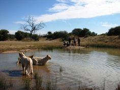 Lions cooling off in a watering hole after a long walk. usually a nice spot for giraffe and antelope.