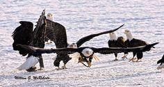Alaska Bald Eagle Festival held in #Haines Alaska every November.  Click here for more information and reservations  http://www.alaska4you.com
