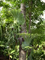 Platycerium superbum, Ang Thong - Thailand Taiping, Krabi, Hangzhou, Fern Flower, Platycerium, Staghorn Fern, Beautiful Places In The World, Tropical Garden, Horticulture