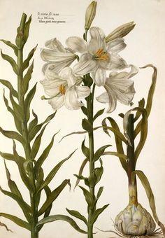 Lilium flo: alba ( circa 1630)  Pieter van Kouwenhoorn.  Royal Horticultural Society/Lindley Library.  via Artfinder.com