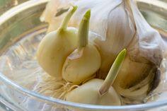 Growing Fresh Garlic