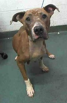 KILLED --- NALA (A1719562) I am a female brown and white Pit Bull Terrier mix.  The shelter staff think I am about 2 years old.  I was found as a stray and I may be available for adoption on 08/23/2015. Miami Dade https://www.facebook.com/urgentdogsofmiami/photos/pb.191859757515102.-2207520000.1440031309./1031282003572869/?type=3&theater