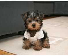 Yorkies are the best!!