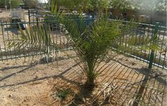 Extinct Tree Resurrected from Ancient Seeds is now a Parent. Resurrected Judean date palm in Israel