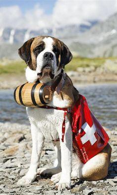 186 Best Stunning St Bernards Images St Bernard Dogs Bernard Dog Dogs
