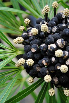 Miagos Bush's seeds turn black and contrast with almost white flowers Dark Flowers, Unusual Flowers, Beautiful Flowers, Nice Flower, Weird Plants, Exotic Plants, Planting Seeds, Planting Flowers, Belle Plante