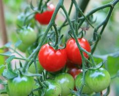 Growing Tomatoes In Pots is very easy. With these tips for growing tomatoes in containers and grow bags you will grow great tasting tomatoes.