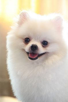 White Pomeranian - Click to shop dog accessories for Pomeranians.