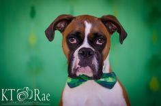 Celtic Pups  St. Patty's Day Mini Session by KT Rae Photography