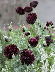 """Black peony poppy. 4"""". Indoor starting is possible but risky as they do not like to have their roots disturbed. Direct sow into the garden in very early Spring when the soil is still cool and there is a possibility of frost or winter sow."""
