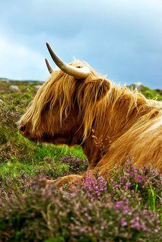 """Highland Cow, Isle of Lewis"" by www.bazpics.com on Flickr - Highland Cow, Isle of Lewis, Scotland, Great Britain"