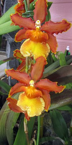 orchids, Hawaii | Barry Fackler on Flickr