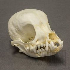 pug skulls pug skull google search bones pinterest pug skulls and search 4540