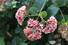 Flowering Shrubs, Gardening Tips, Pink Flowers, Landscape, Plants, Shrubs, Flowering Bushes, Scenery, Plant