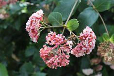 Flowering Shrubs, Gardening Tips, Pink Flowers, Landscape, Plants, Shrubs, Flowering Bushes, Scenery, Plant
