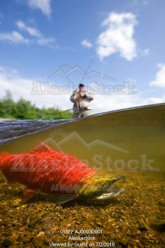 Photo of Close up of sockeye salmon in river with fly fisherman in background Alagnak River Katmai National Park and Preserve southwest Alaska summer Composite