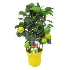 Limonella h2