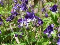 Columbine 30 Seeds Mix Purple White Pink Beautiful Spring Flower Organic | eBay
